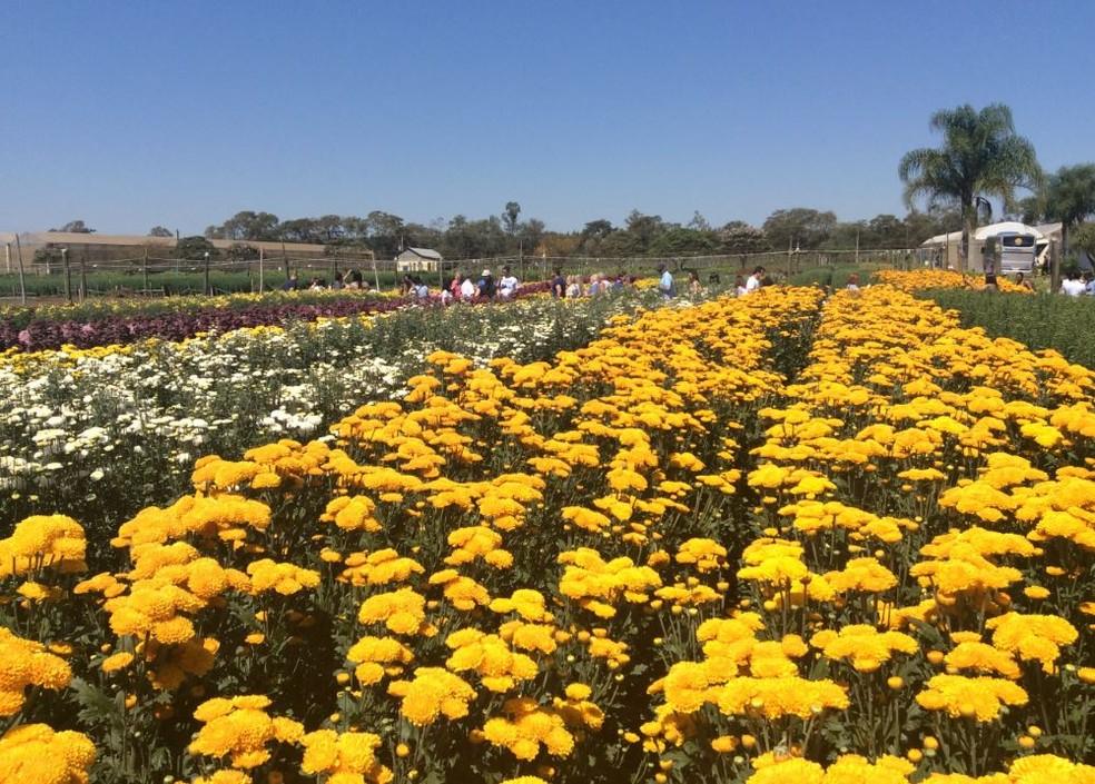 Plantação de flores em Holambra (SP), uma das maiores produtoras do país; preço dos produtos pode variar de acordo com a época do ano (Foto: Divulgação/Maiko Magalhães)
