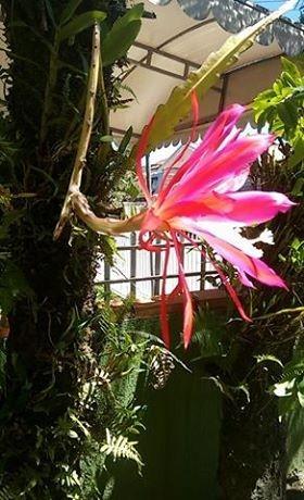 gr-responde-cacto orquídea-cacto dama da noite-cactácea (Foto: Doroti Teresinha/ Arquivo Pessoal )