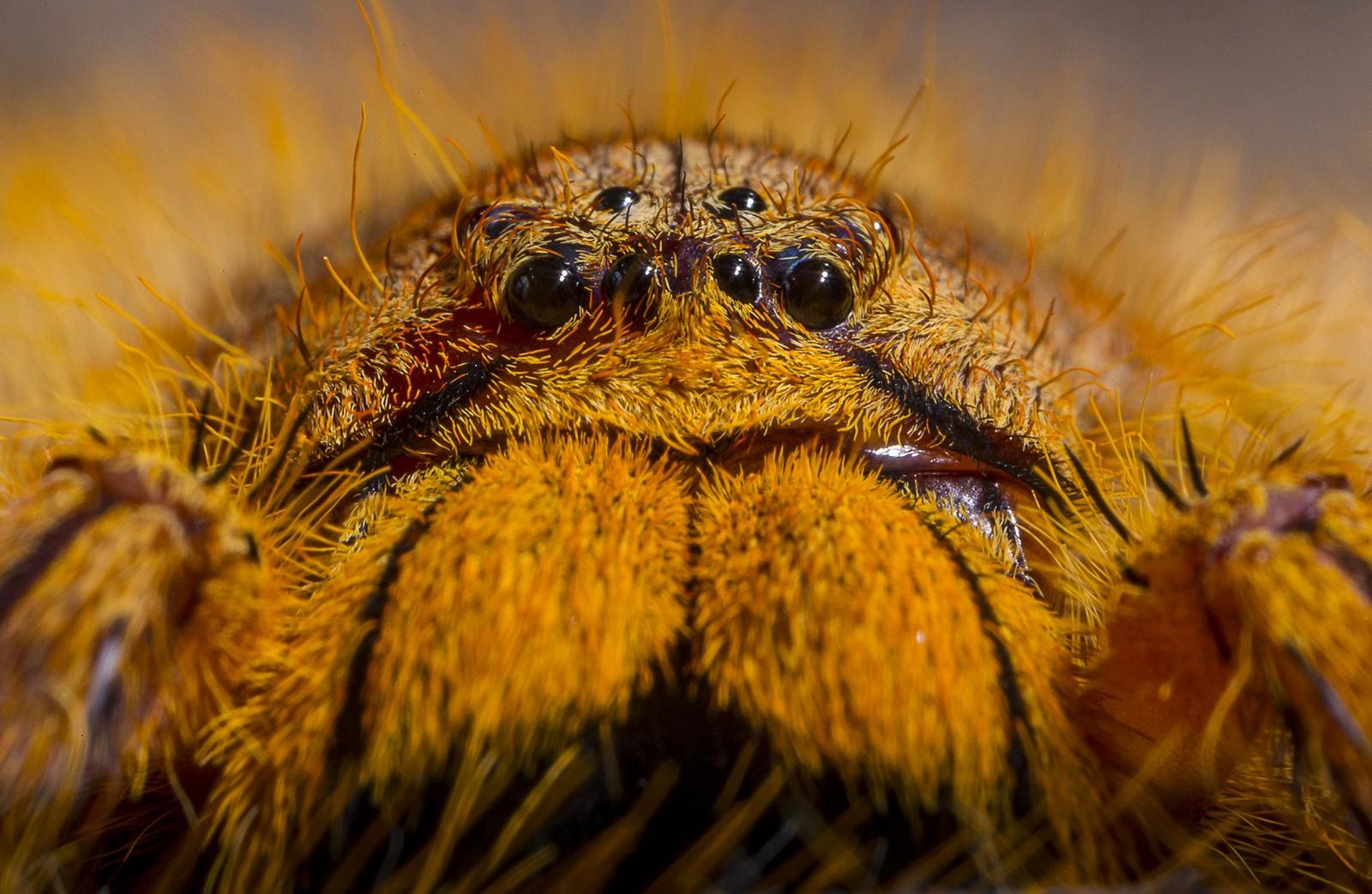 A aranha Heteropoda davidbowie.  (Foto: San Diego Zoo)