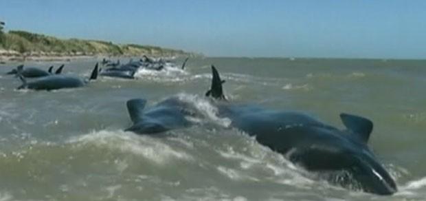 As baleias ficaram presas no domingo, e a maré baixa dificultou a operação de salvamento (Fot Reprodução/GloboNews)