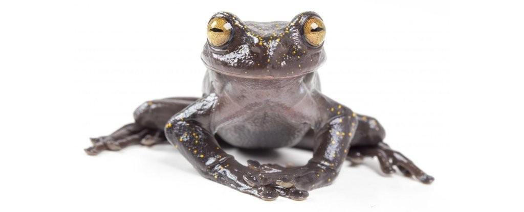 Hyloscirtus hillisi  (Foto: Gustavo Pazmiño, BIOWEB Ecuador)