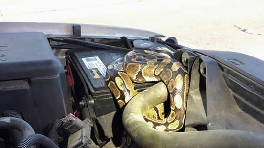 Tem Na Web - Cobra é retirada de motor de carro nos EUA, e dono do animal é multado