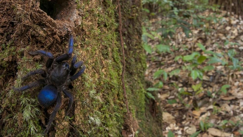Aranha que está sendo chamada de 'tarântula elétrica' foi avistada por fotógrafo perto do rio Potaro, na Guiana  (Foto: Andrew Snyder/Global Wildlife)