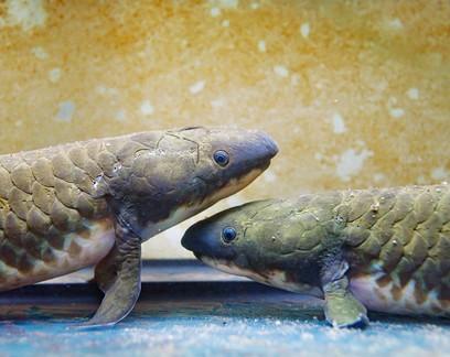 Espécie de peixe australiano tem maior genoma já sequenciado