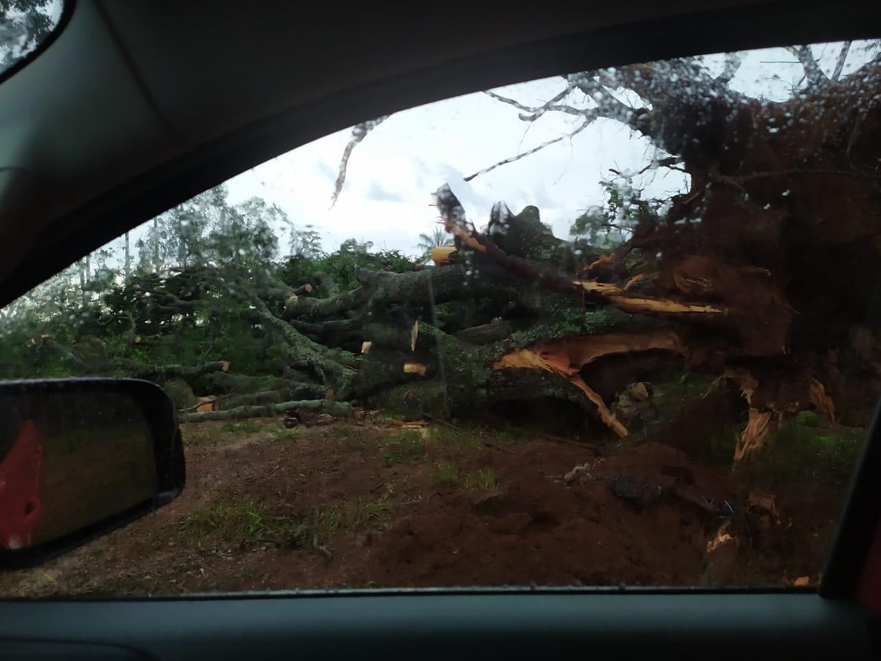 Chuvas fortes derrubam árvores em Araguari