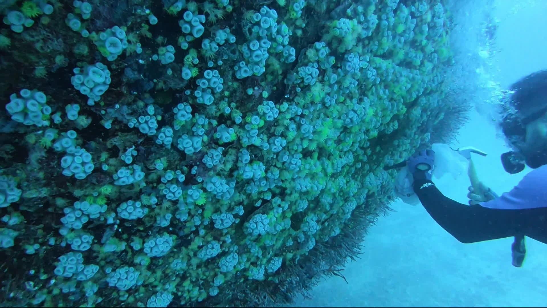 Expedição retira coral-sol de navios naufragados no litoral pernambucano devido a ameaças à biodiversidade do oceano