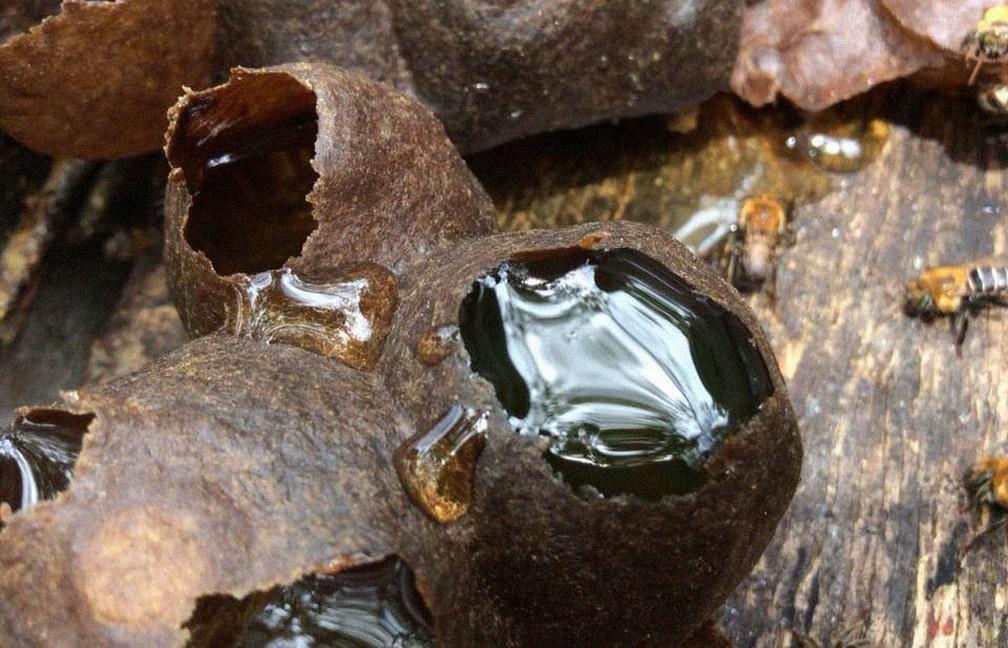 Mel das abelhas sem ferrão é mais claro e fluido, e tem uma leve acidez — Foto: Meliponário Costa do Sauípe/ Divulgação