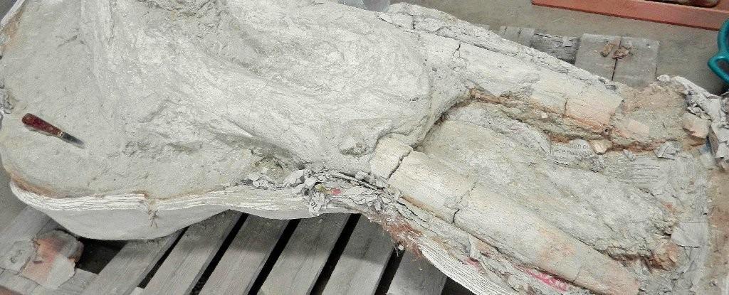 Fóssil pertence a espécie que viveu em região da França entre 11 e 13 milhões de anos atrás (Foto: Musee D'histoire Naturelle De Toulouse)