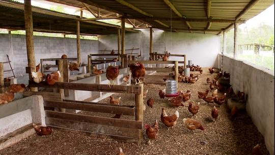Criadores de MG aumentam a produção de ovos com melhor manejo