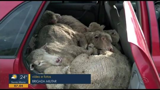 Ovelhas são encontradas amontoadas dentro de carro em Barra do Quaraí