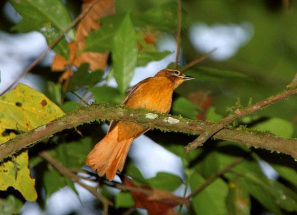 Limpa-folha-do-nordeste (Philydor novaesi) (Foto: Ciro Albano, NE Brazil Birding)