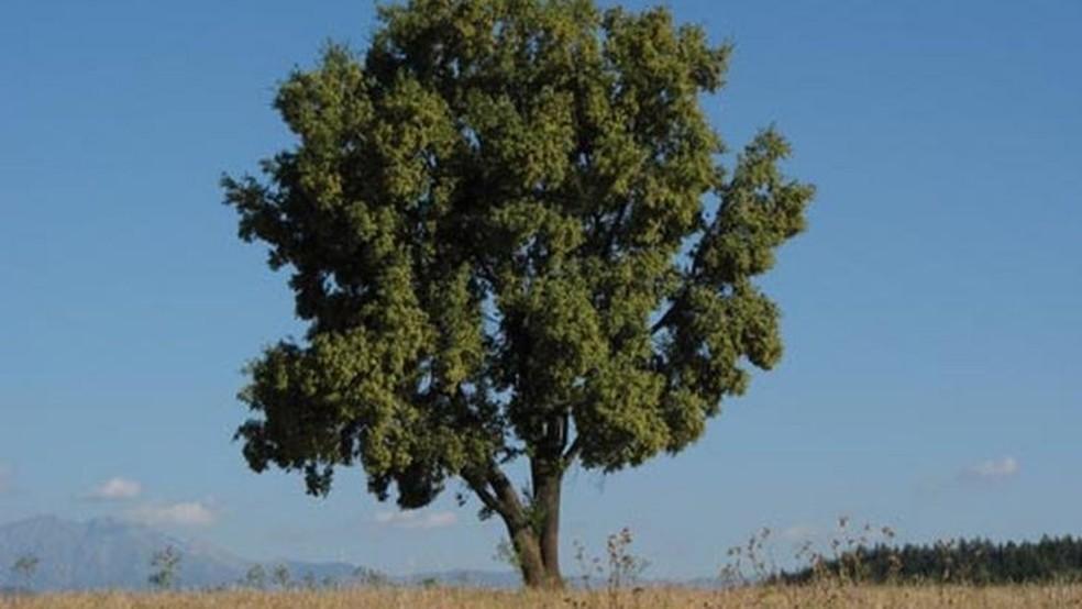 A quilaia é uma árvore endêmica da Zona Central do Chile — Foto: Conaf