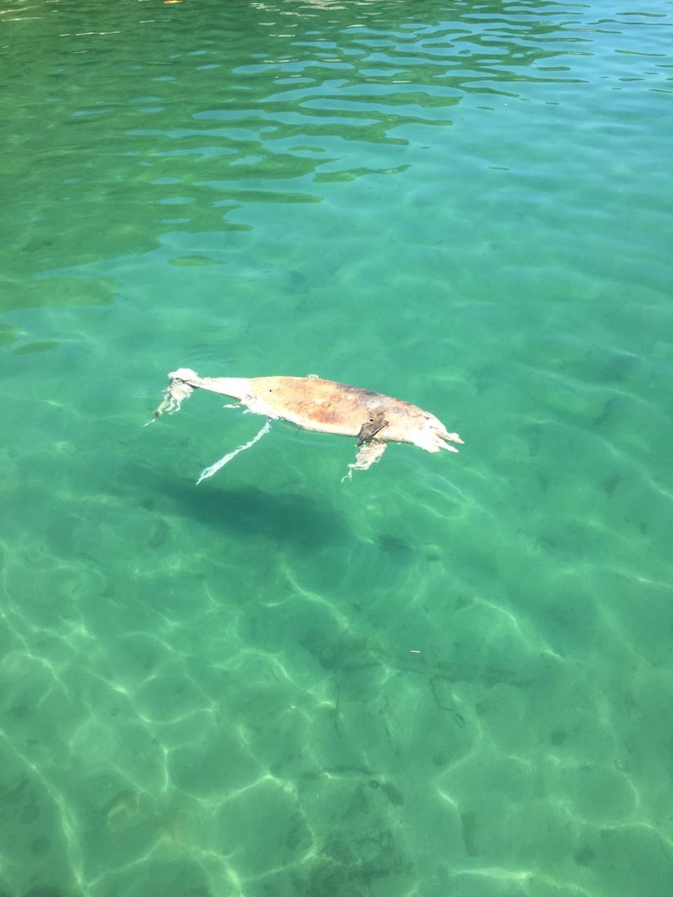 Golfinho da espécie boto-cinza é encontrado morto em Angra dos Reis - Noticias