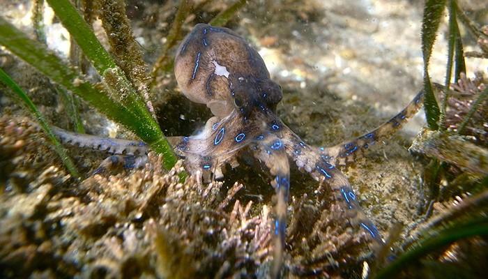 Apesar da aparência inofensiva, o polvo-de-anéis-azuis é considerado uma das espécies mais perigosas em todo mundo  (Foto: Sylke Rohrlach/ Wikimedia Commons)