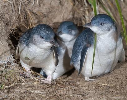 Reintrodução de diabos-da-tasmânia em ilha expulsou 6 mil pinguins