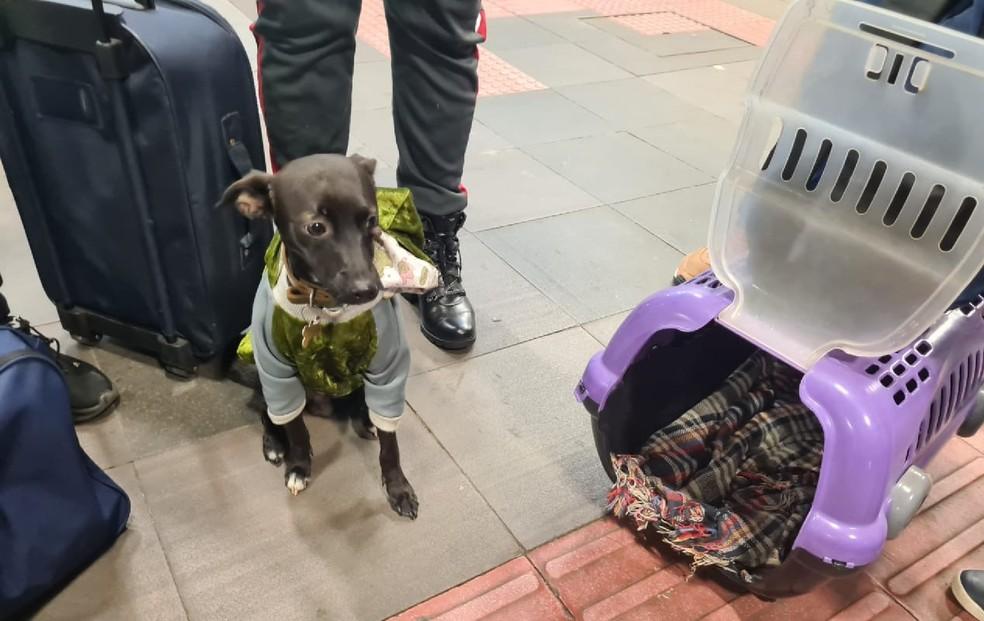 Com ajuda de ONGS, Spike vai voltar para a casa. — Foto: Colaboração/SOS 4 Patas