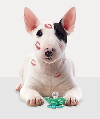 O míni bull terrier Arthur prefere brinquedos próprios para cães a chupetas (Foto: Johnny Duarte/Editora Globo)