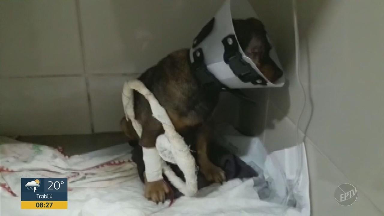 Polícia de Altinópolis investiga fazendeiro que atirou em cachorrinha com chumbinho