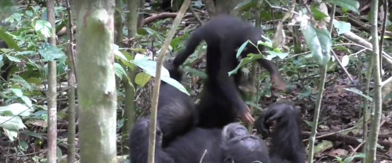 Momento em que chimpanzé brinca com filhote (Foto: Reprodução/YouTube)