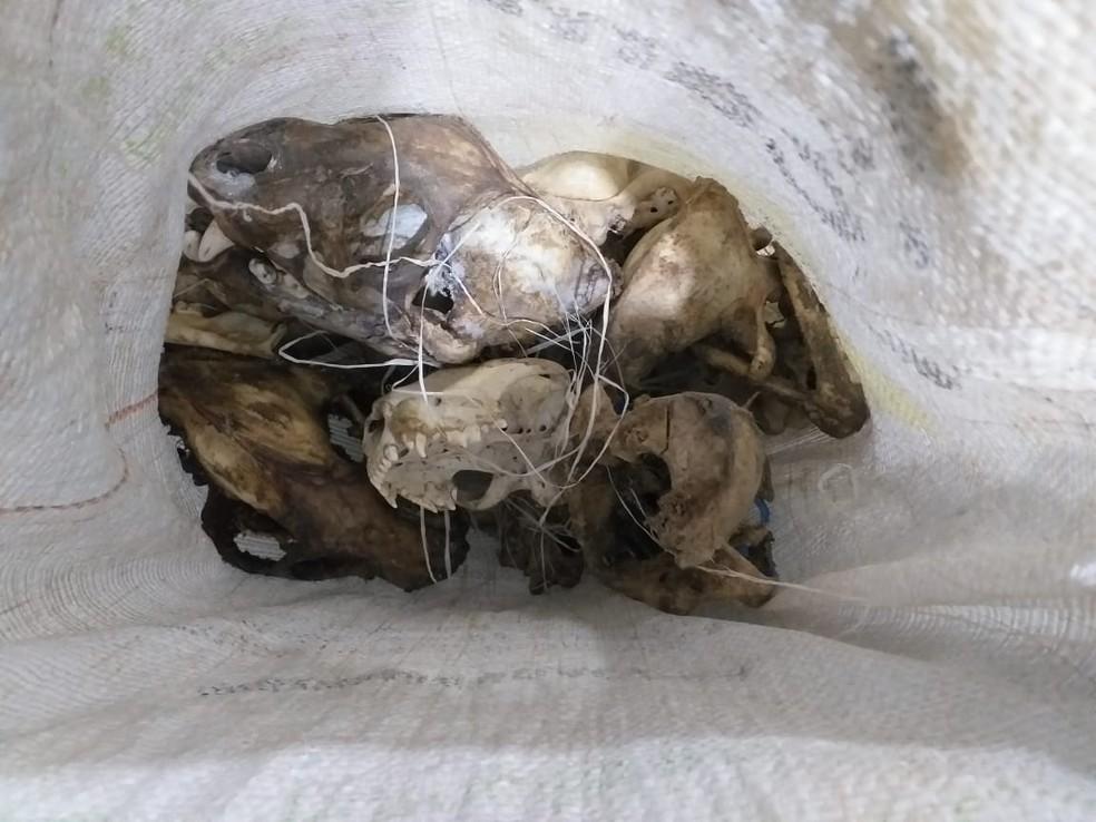 Doze crânios de onças também foram encontrados no mesmo sítio em Candeias do Jamari.  — Foto: Divulgação/Polícia Civil
