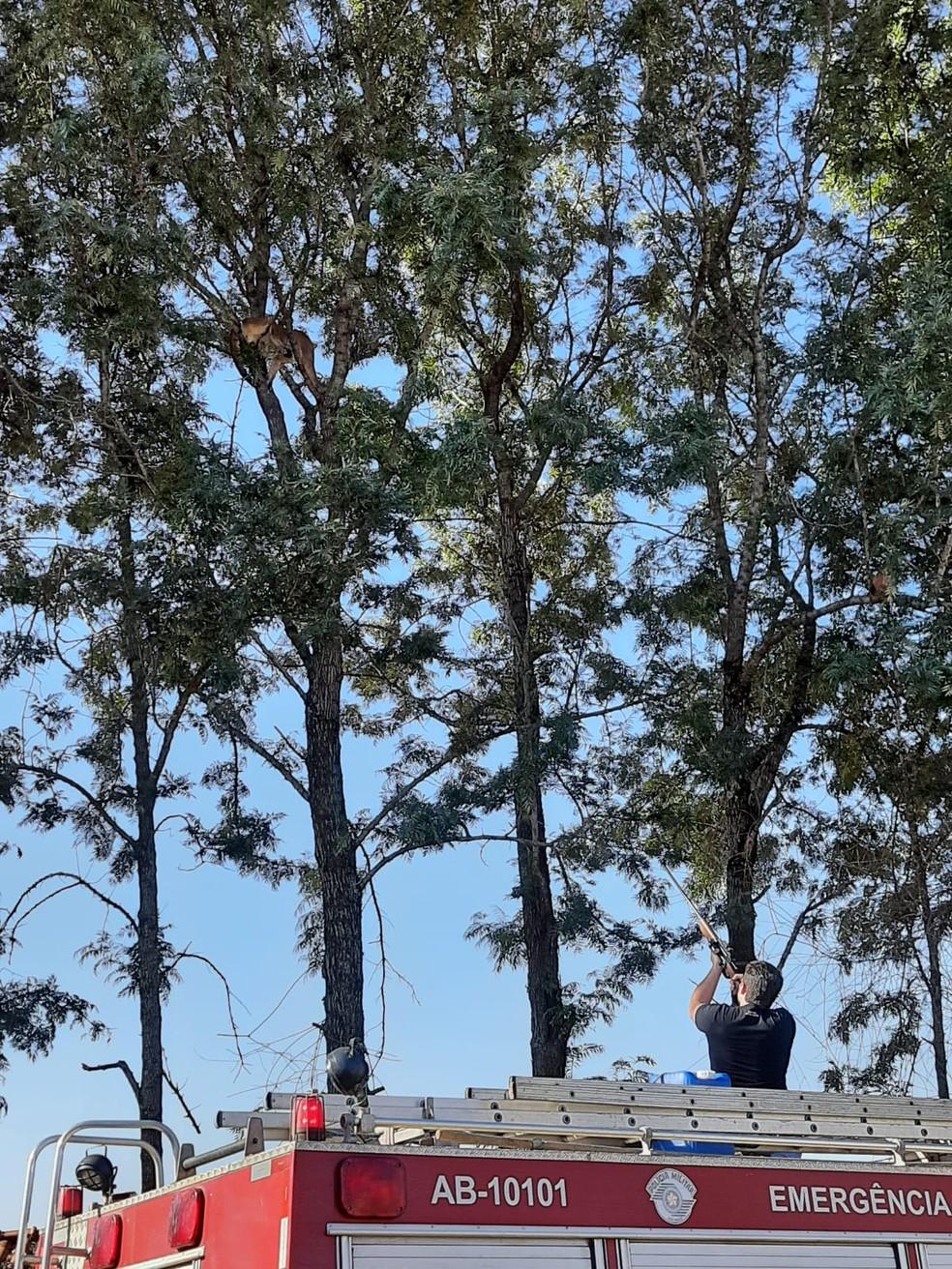 Dardos de tranquilizantes precisaram ser usado no resgate de onça parda que estava em cima de uma árvore em hípica na zona rural de Marília (SP) — Foto: Anderson Camargo/ TV TEM