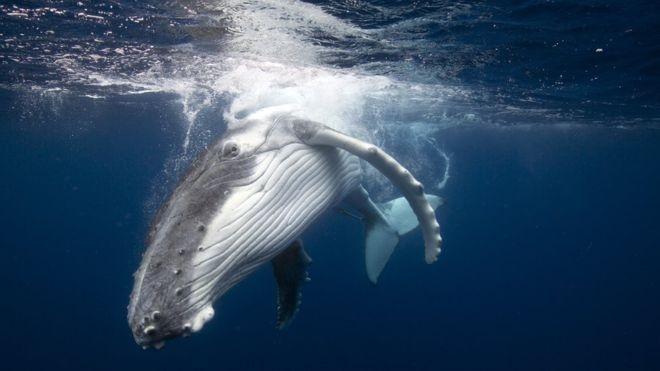 A proibição da caça comercial de baleias foi estabelecida em 1986, para possibilitar que os estoques desses animais se recuperassem (Foto: BARCROFT MEDIA)