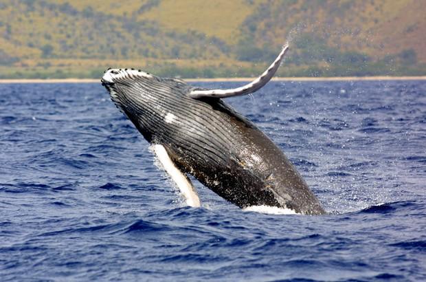 Baleia jubarte nas águas do Havaí; NOAA abriu pedido de revisão sobre situação da espécie (Fot NOAA/AP)
