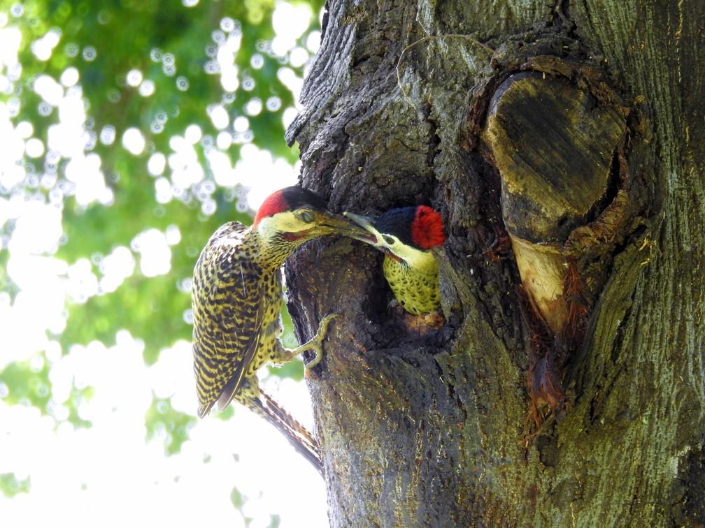 Pica-pau-verde-barrado se adapta para  a alimentação e locomoção. (Foto: Sonia Maria de Souza/VC no TG)