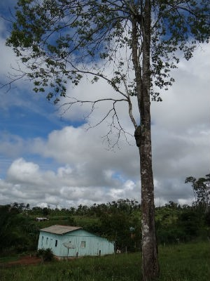 Árvore deve ter em torno de 25 metros de altura (Fot Émerson Motta/RondoniaVip)