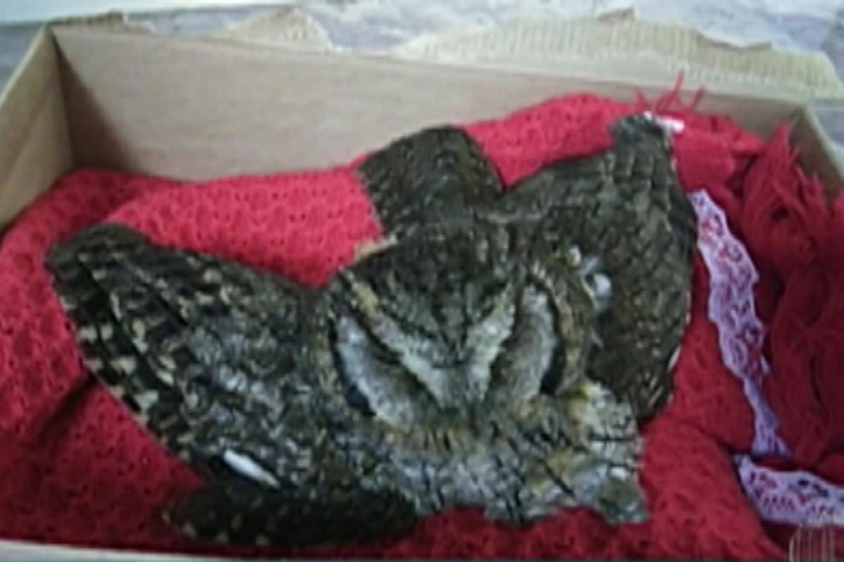 Polícia Ambiental retira coruja ferida de casa de Salesópolis após pedido de moradora