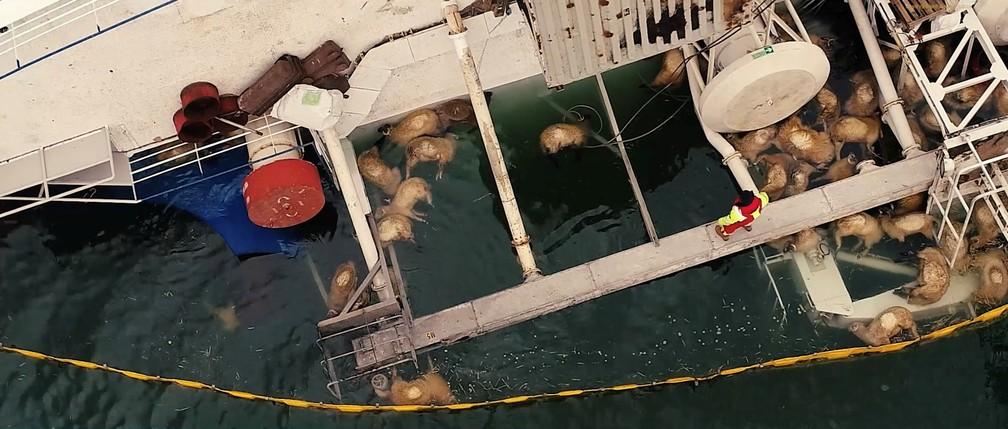Imagem aérea mostra ovelhas boiando na água após o navio Queen Hind virar na Romênia — Foto: Claboo Media/Reuters