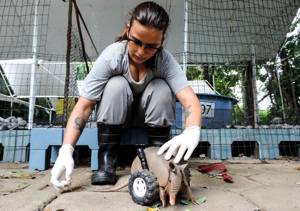 Médicos veterinários vêm cuidando do tatu no Iema — Foto: Paulo Sena/IEMA