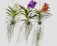 Essa orquídea é plantada de baixo para cima