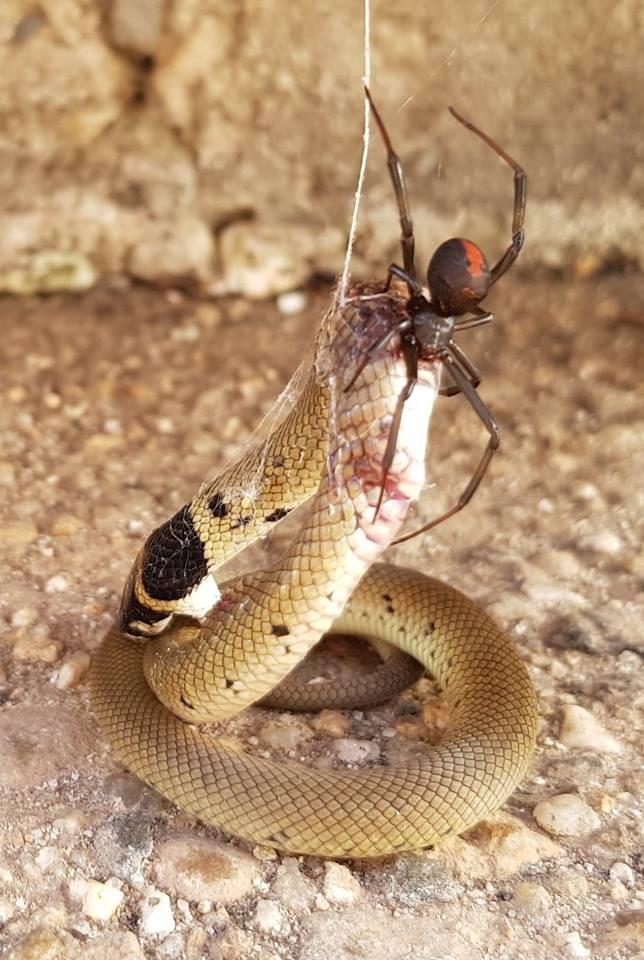 Para comer presas grandes, aranha injeta fluído digestivo dentro do animal para amaciar seus tecidos corporais (Foto: Facebook / Robyn McLennan)