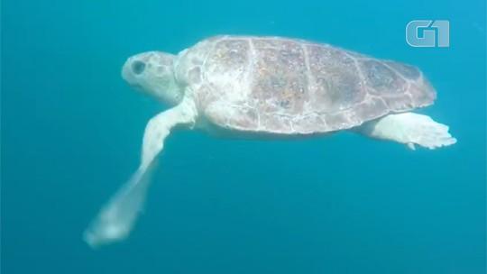 Vídeo mostra soltura de tartaruga reabilitada em Ubatuba; veja