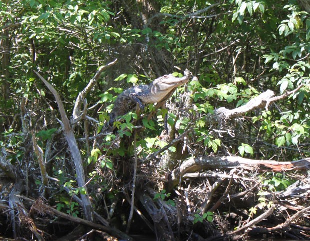 Exemplar de crocodilo filipino também foi estudado pelos pesquisadores americanos (Fot M. van Welsem / Mabuwaya Foundation)