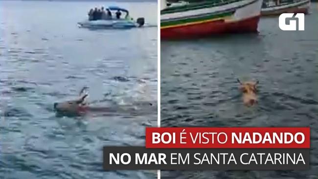 Boi nada no mar para fugir de farristas em Porto Belo, diz ONG