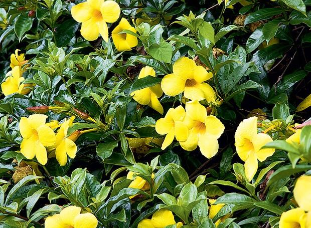 Por florir o ano todo, as alamandas fazem com que o seu jardim fique com cara de primavera durante as quatro estações (Foto: Acervo Casa e Jardim)