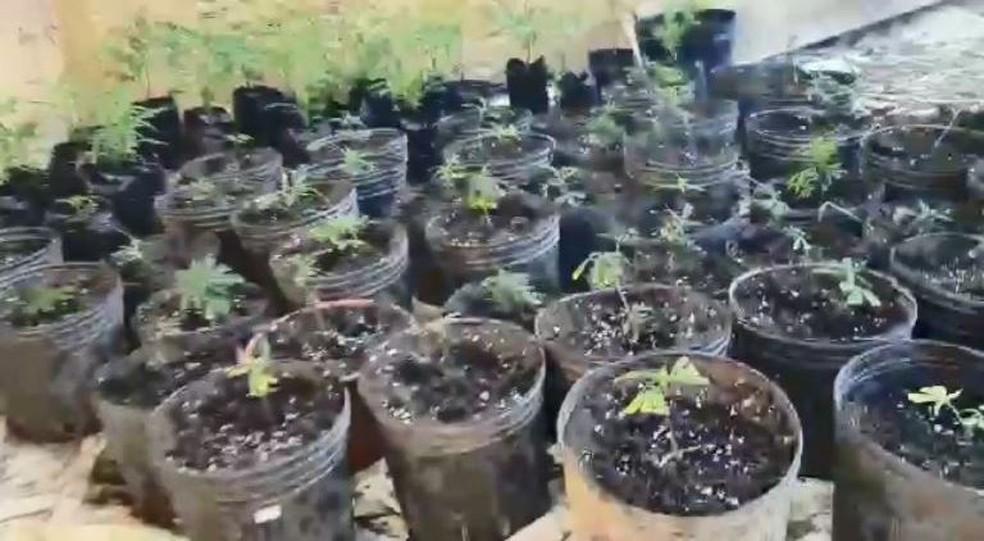 Plantação de maconha em Alfredo Chaves — Foto: Divulgação/Polícia Civil - ES