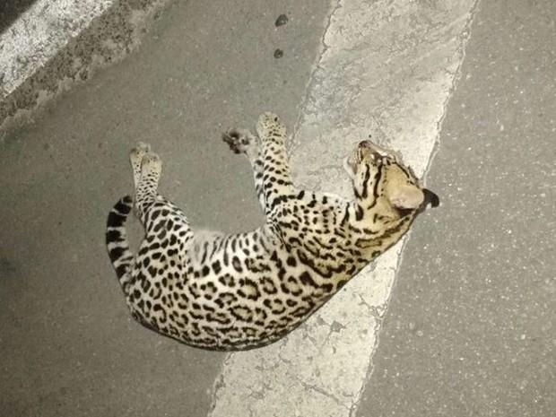 Jaguatirica foi encontrada morta na noite de domingo (26) (Foto: Reprodução/Aconteceu em Bertioga)