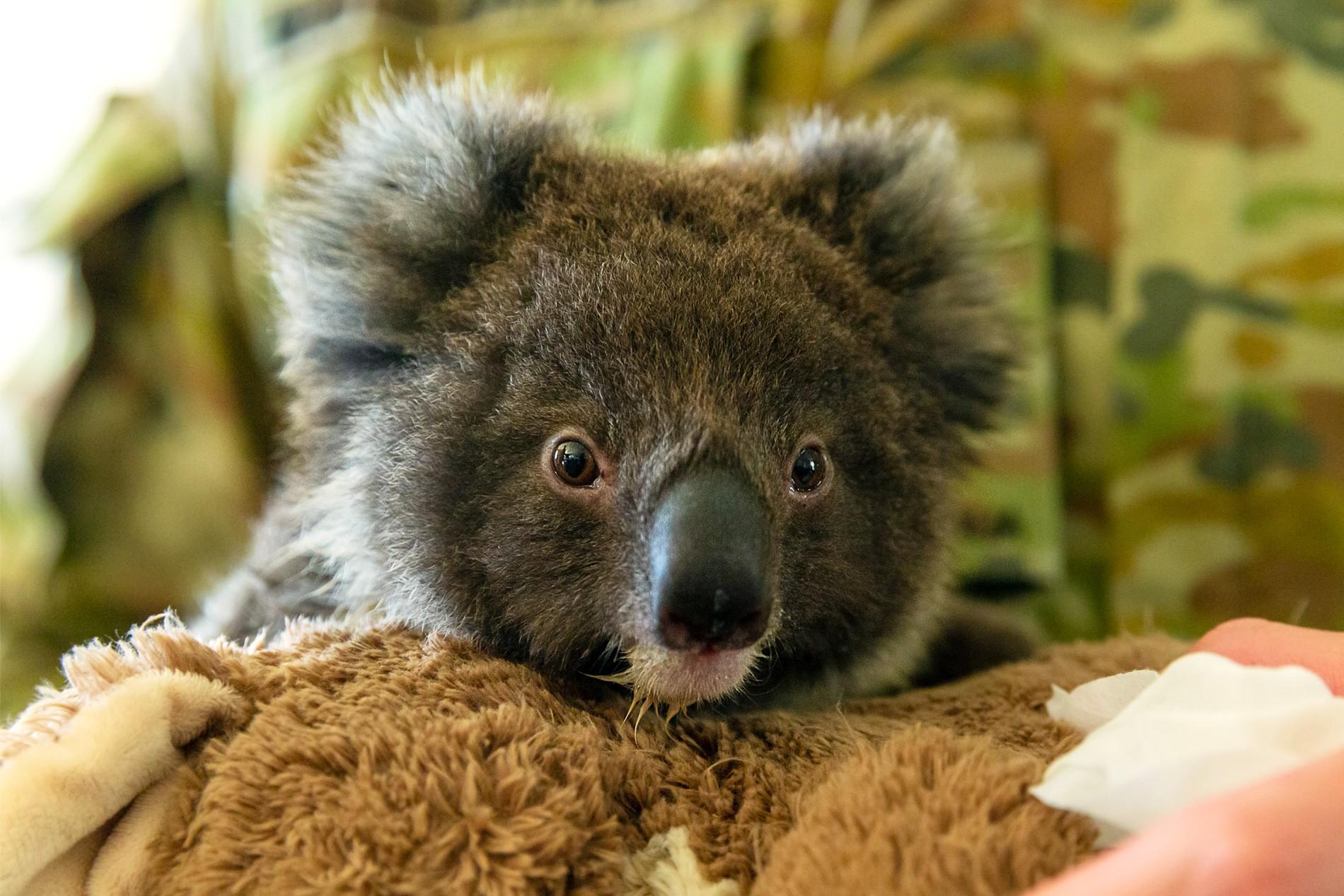 Abaixo-assinado pede que Nova Zelândia receba coalas ameaçados por incêndios na Austrália thumbnail