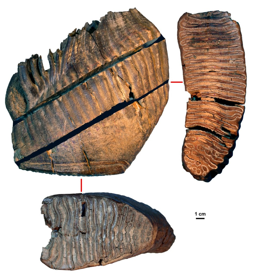 Pesquisadores descobrem DNA mais antigo do mundo em mamutes da Sibéria. Na foto, o dente de mamute Chukochya, de 870 mil anos. — Foto: Universidade de Estocolmo