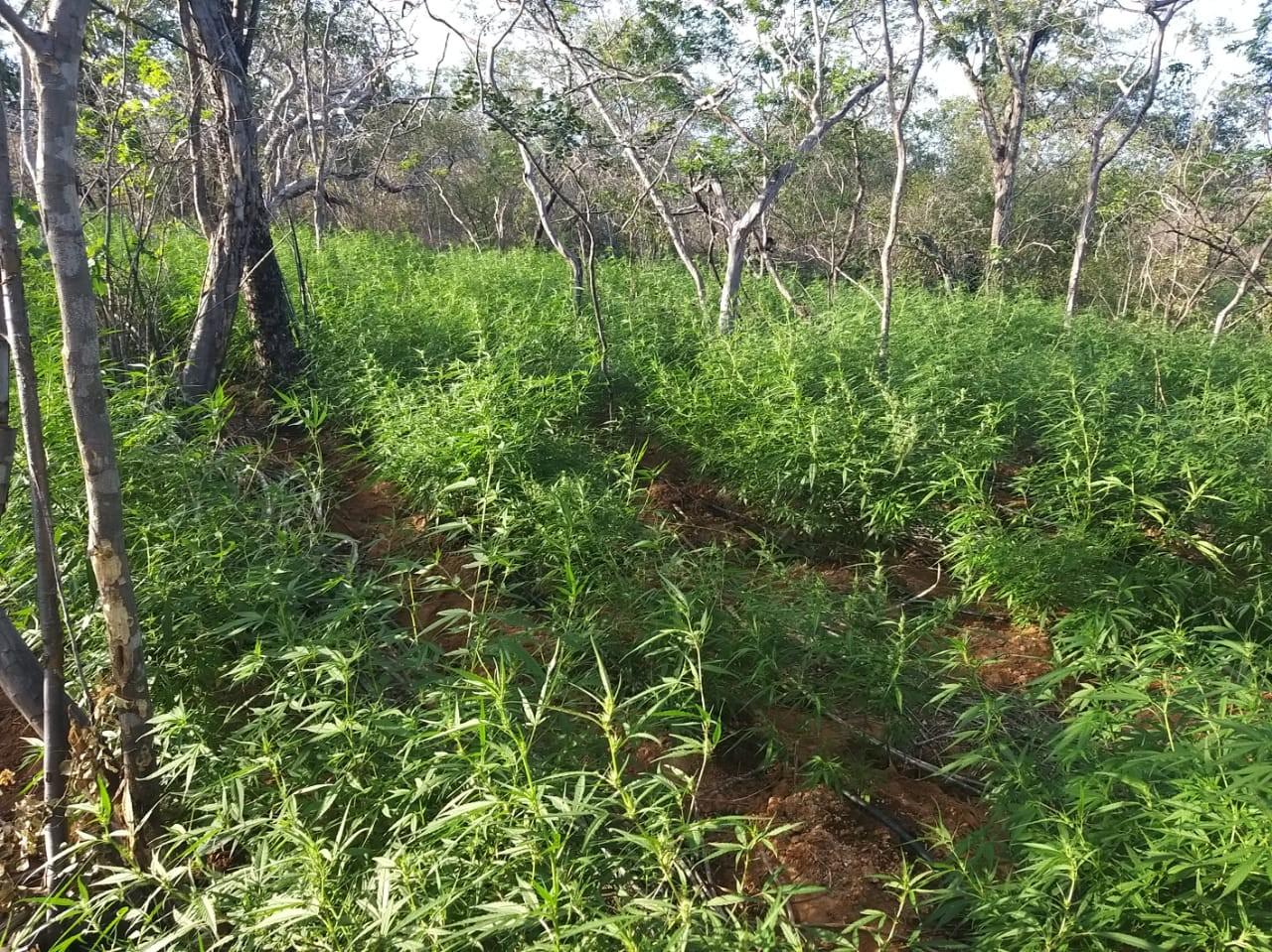 Agricultor é preso em Parnamirim, PE, em plantação com mais de seis mil pés de maconha - Notícias - Plantão Diário