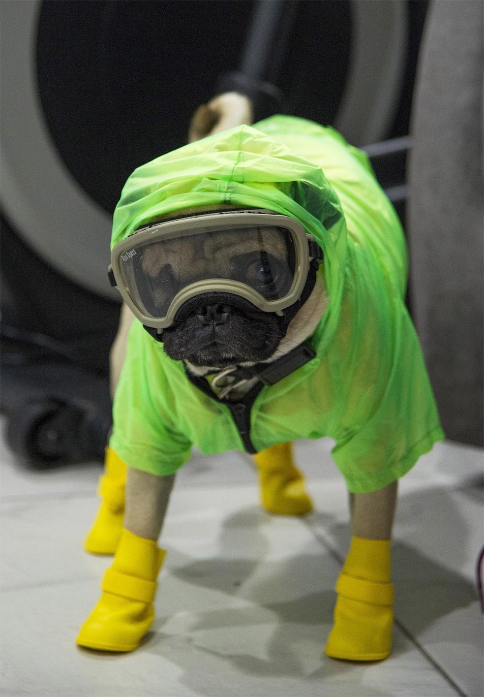 Harley tem traje e acessórios especiais para atuar como cachorro terapeuta de equipes médicas de hospital na Cidade do México durante a pandemia — Foto: Claudio Cruz/AFP