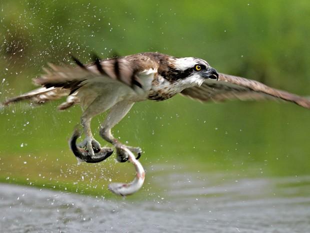 Águia captura peixes em lago na Finlândia (Foto: Miguel Lasa/Caters News)