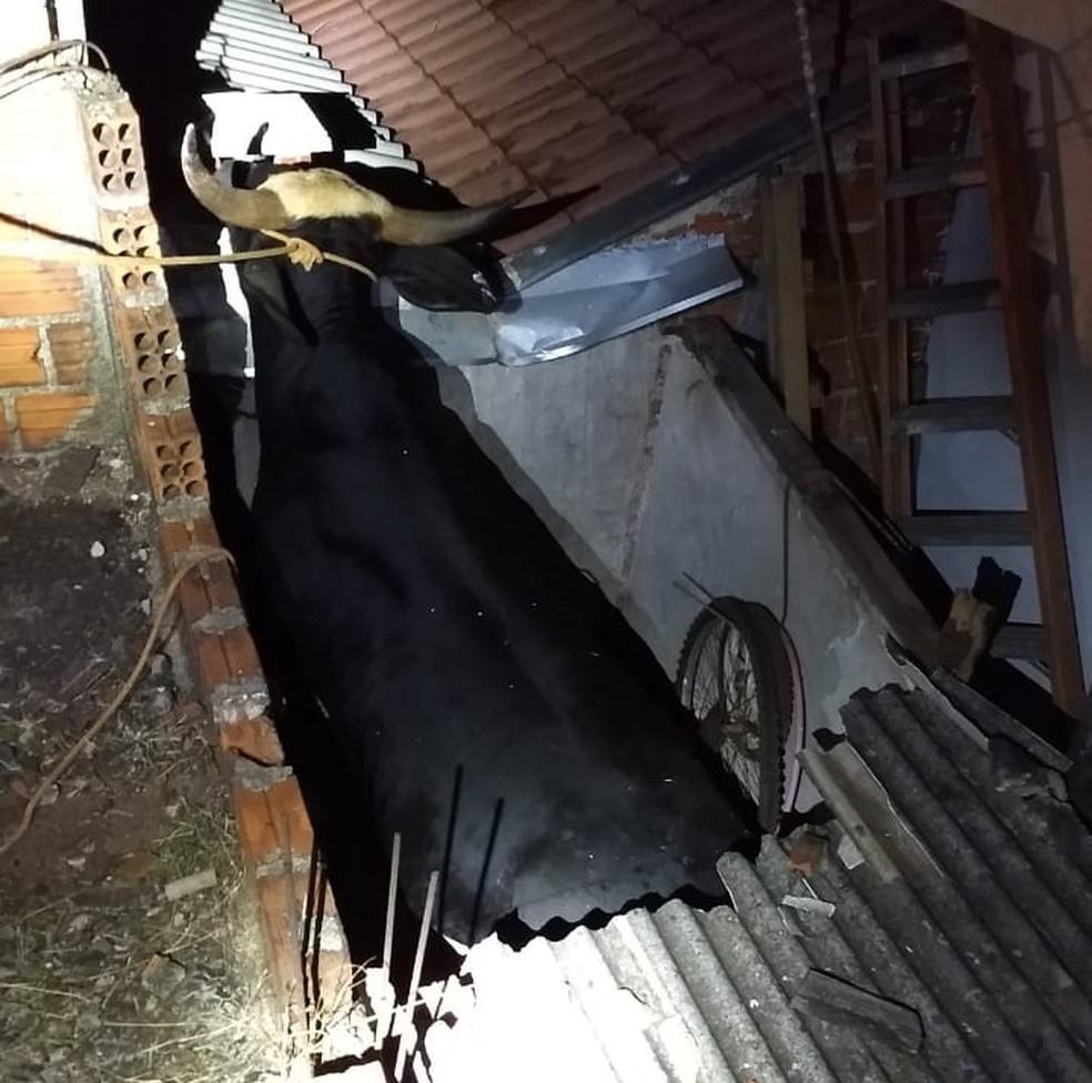 Touro caiu sobre telhado de residência em Cambé — Foto: Júnior Fontana/Arquivo Pessoal