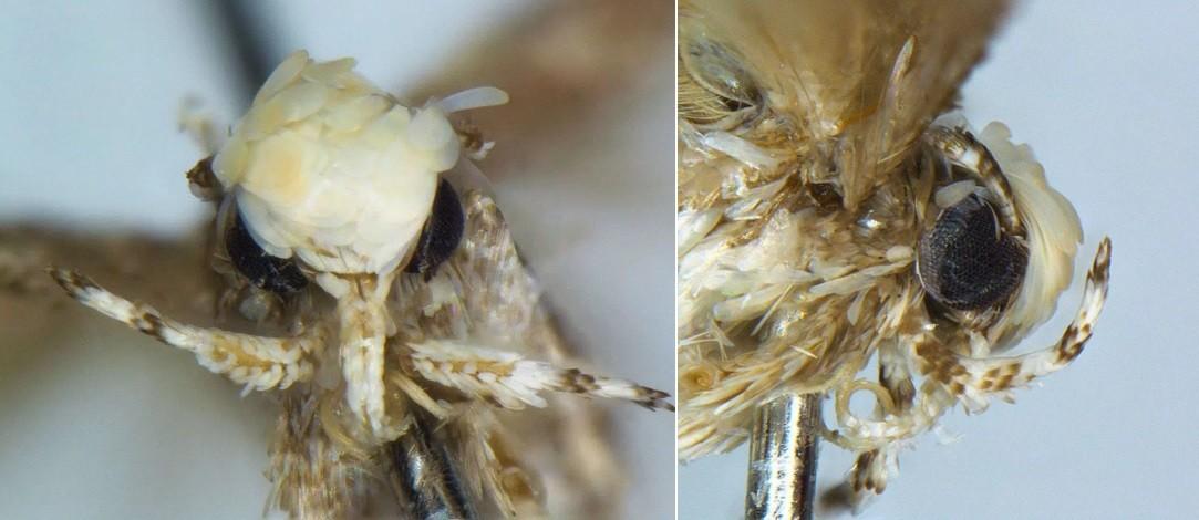 O inseto tem um topete comparável do do futuro presidente dos EUA