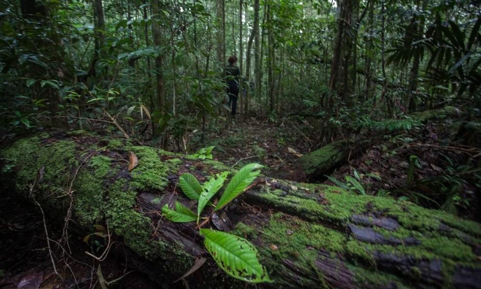 Troncos de árvores caídas no interior da Floresta Nacional do Amapá (Flona) — Foto: Alex Silveira/O Globo