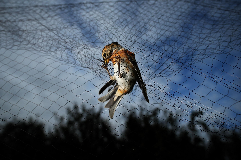 Pássaro preso em rede neblina (Foto: Dan Kitwood/Getty Images)
