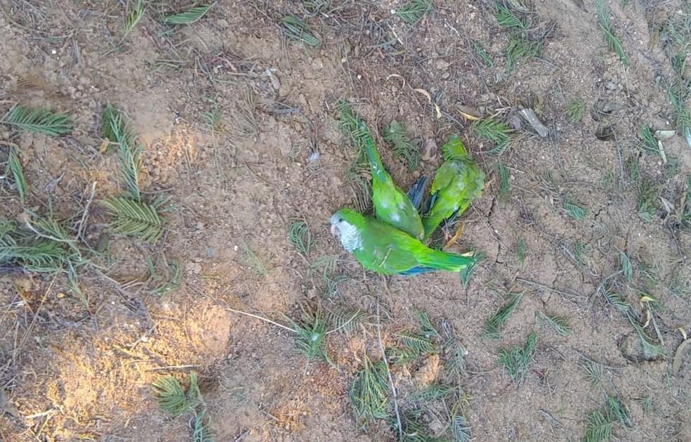 Pássaros foram encontrados mortos em Bagé — Foto: Ibama/divulgação